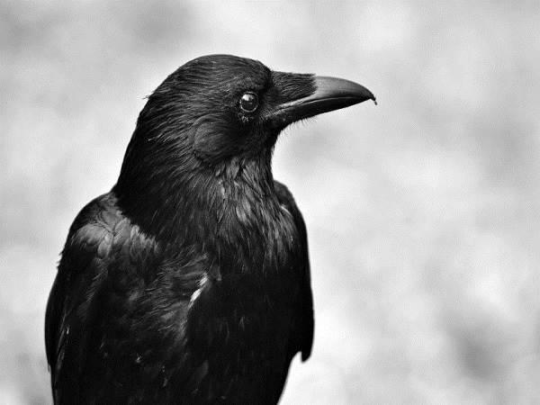 Mơ thấy quạ chọn con số nào, là điềm báo gì?