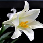 Nằm mơ thấy hoa huệ báo trước điềm gì?