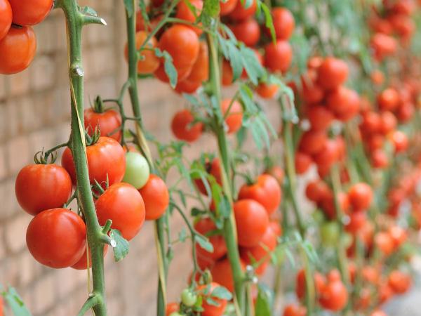 Mơ thấy quả cà chua là điềm báo điều gì?