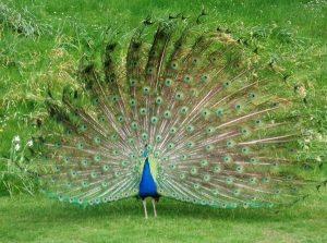 Mơ thấy chim công là điềm xấu hay tốt?