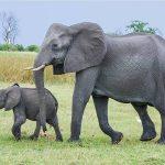 Mơ thấy con voi chọn đánh con nào? Giải mã ngủ mộng thấy voi