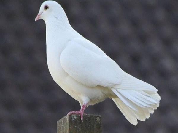 Mơ thấy chim bồ câu có ý nghĩa gì